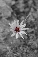 B&W Flower (kezwan) Tags: bw flower kezwan 1on1flower