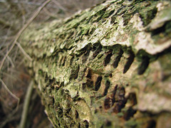 Woodpecker Log