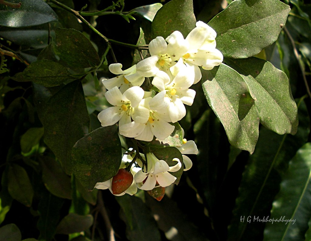 Murraya paniculata  (Kamini) - Flowers and fruits