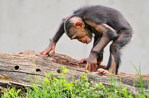 フリー画像| 動物写真| 哺乳類| 猿/サル| チンパンジー| 子猿| 覗く/見る|     フリー素材|