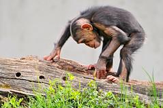 [フリー画像] [動物写真] [哺乳類] [猿/サル] [チンパンジー] [子猿] [覗く/見る]     [フリー素材]