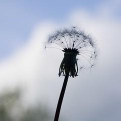 Wishing Flower (jpsphoto) Tags: flower silhouette dandelion wishingflower