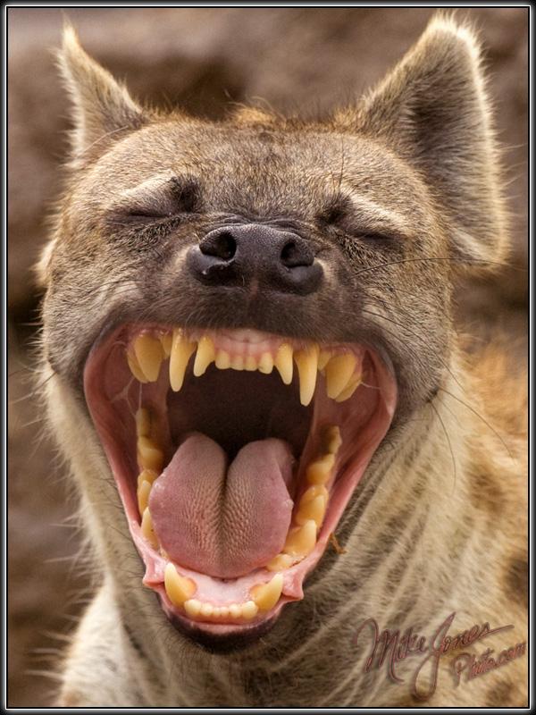 Le ricanement de la hyène