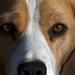 Bonnie Beagle
