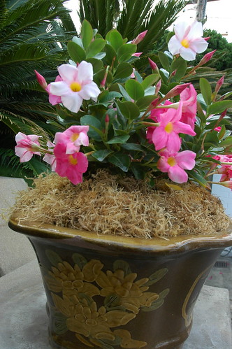 Pink flowering Chinese style brown and lotus flowered pot, Self-Realization Fellowship Meditation Garden, Paramahansa Yogananda, Encinitas, California, USA 3259 by Wonderlane