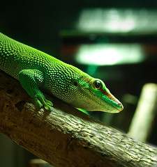 Green gecko (tanakawho) Tags: macro animal zoo dof bokeh reptile lizard gecko creature photooftheday bej madagascardaygecko tanakawho 1on1animalsnonpetphotooftheweek may172009  1on1animalsnonpetphotooftheweekjune2009