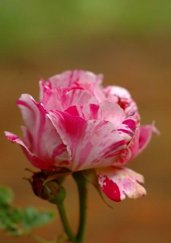 Rosa Ferdinand Pichard | Struikroos, Bourbonroos - Shrub, Bourbon rose