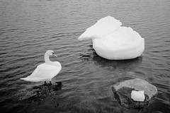 a swan and a little iceberg (immu) Tags: sea bw white bird film ice nature animal swan iceberg xa suomenlinna olympusxa