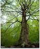 Contrapicado árbol (Nati C.) Tags: naturaleza árbol catalunya haya contrapicado montseny cruzadas cruzadasgold cruzadascomentada cruzadasiii cruzadas4