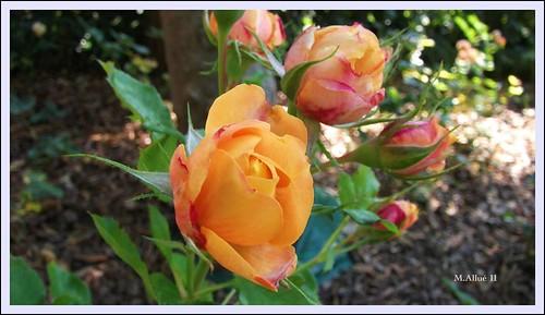 Rosas by Miguel Allué Aguilar