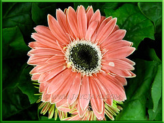 Gerbera jamesonii - salmon or coral-pink rays with black central disk, enclosed by white trans florets