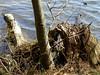 Water's Edge (PJSherris) Tags: tree water island bay long olympus cutting stumps bayard c4040z