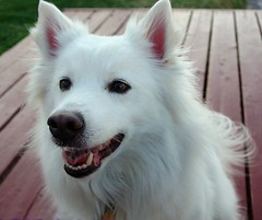 Niko (utski7) Tags: park arizona dog pet cute love sweet hund american niko eskimo eskie iluvmydog