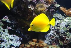 gul fisk (kristoffervs) Tags: caspers fisk gule