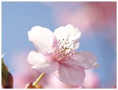 Cherry blossoms 090305 #07