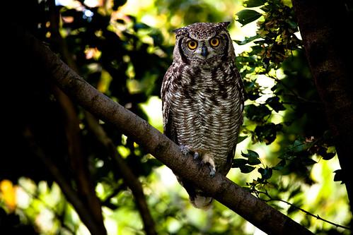 フリー画像| 動物写真| 鳥類| 猛禽類| 梟/フクロウ| アフリカワシミミズク|      フリー素材|