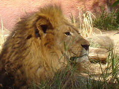 King Of Beasts (Obsolete_Machine) Tags: zoo los angeles loin