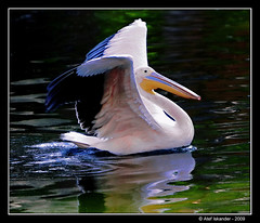 Pelican beauty! (Atef A. Iskander) Tags: reflection nature action wildlife pelican winged 2009 f28 200mm iskander actionphotography atef supershot canoneos30d motionphotography canonef70200mmf28lisusm overtheexcellence natureselegantshots thebestofmimamorsgroups atefiskander2009 pelicanbeauty