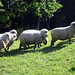 Varaucania Sheep - Chile Study Abroad