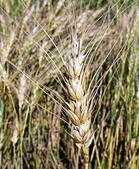 WHEAT  (Triticum aestivum) trigo ............... (410 x 500) Original= (2724 x 3319) (turdusprosopis) Tags: wheat cereal crops cereals cereales poaceae  trigo grano bl cereais  we