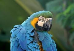 Uma Arara azul e amarela (Ara ararauna) é surpreendida na mata atlântica, Paraná - Brasil