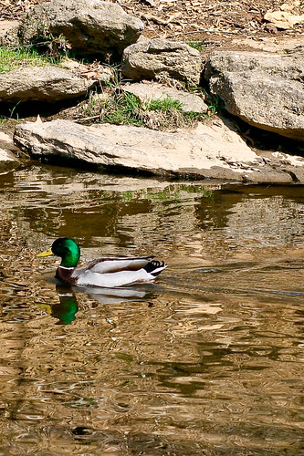 Duck in the creek....