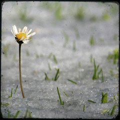 1462 (saul gm) Tags: winter snow flower primavera spring dof nieve flor daisy margarita invierno ttv challengeyouwinner saulgm ltytr1