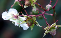 berries tales (xeno(x)) Tags: macro art nature fruit canon garden asia berries explore 2009 xeno bej 40d 4mazingorgeoushotsoflowers