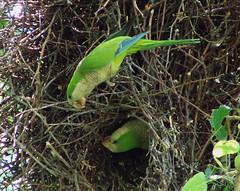 Monk Parakeet (Laura Erickson) Tags: chicago illinois hydepark nesting monkparakeet myiopsittamonachus haroldwashingtonpark