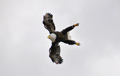 Bald Eagle Attacking (hsc_70) Tags: eagle bald 18200 attacking d300 slbflying slbattacking