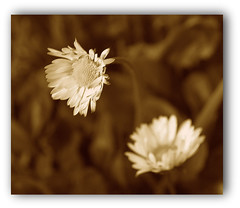 Divergence (Solea20) Tags: fleurs searchthebest best marguerite sépia otw flickrsbest platinumphoto infinestyle theunforgettablepictures proudshopper mimamorflowers awardtree novavitanewlife thenewselectbest