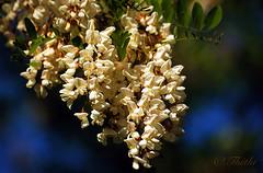 070505 gm 090327 © Théthi ( 4 pics ) (thethi (pls, read my 1st comment, tks a lot)) Tags: nature fleur arbre belgique belgium blanc bleu cytise mai hainaut wallonie robinier bestof2007 setflowers setmai ruby10 fact20 faves30 29faves