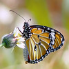 Everybody is special, whether or not they believe it. (tropicaLiving - Jessy Eykendorp) Tags: light bali macro nature butterfly insect indonesia bokeh wildflower 500x500 ef70300mmf4056isusm canoneos50d tropicaliving vosplusbellesphotos jessyce