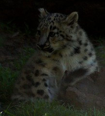 First Look At A New Cub! (ianmichaelthomas) Tags: victoria ounce animaladdiction australia worldofanimals parkville itsazoooutthere royalmelbournezoo bigcats flickrbigcats snowleopards snowleopard