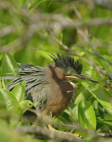 Green Heron male