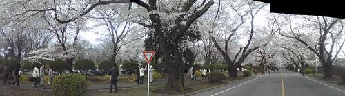 ICU桜2