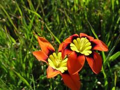 Signs of spring (kshibano) Tags: california flower marin rodeobeach