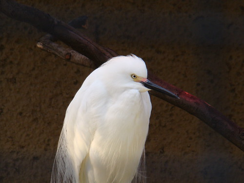 Snowy Egret at the Los Angeles Zoo