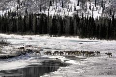 Denali Caribou Herd (Akfirebug) Tags: snow alaska roadtrip denali caribou akfirebug falcetta abigfave winterstill abigffav