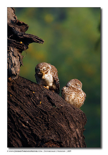Spotted_Owlet | Bharatpur
