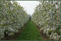 Blossoms (Ciao Anita!) Tags: primavera netherlands vanishingpoint spring blossom nederland fiore lente bloesem olanda gelderland betuwe voorjaar puntodifuga tricht verdwijnpunt top20spring dehoenderik