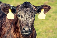Moo! 103/365 130409 (Carmen's Year) Tags: cow pad calf apr hpad130409