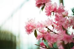 (Akari *) Tags: pink   nikonfe solaris