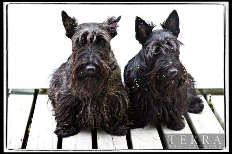 The Notorious Naughty Scottie Gang
