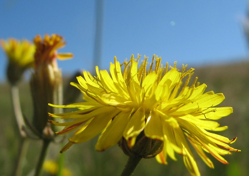The lowly dandelion