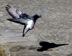 Coming in to land (Steve-h) Tags: pink ireland shadow red dublin black grey pigeon explore finepix fujifilm portobello cobbles grandcanal quayside rathmines steveh s100fs portobellolock
