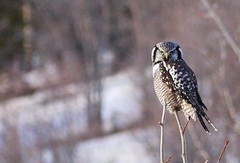 Hawk Owl (David Cartier) Tags: apr22