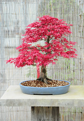 "Acer palmatum ""Deshojo"" Japanese Maple Bonsai Tree (Steve Greaves) Tags: old red plant tree art leaves miniature leaf ancient natural display artistic grow foliage japanesemaple commercial bark bonsai trunk aged growing meditation horticulture acerpalmatum gettyimages glazed stoneware bambooscreen deshojo bonsaipot nikond300 japanesemountainmaple"