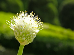green onion's flower (hamapenguin) Tags: flower green nature kanagawa botanicalgarden greenonion  welshonion