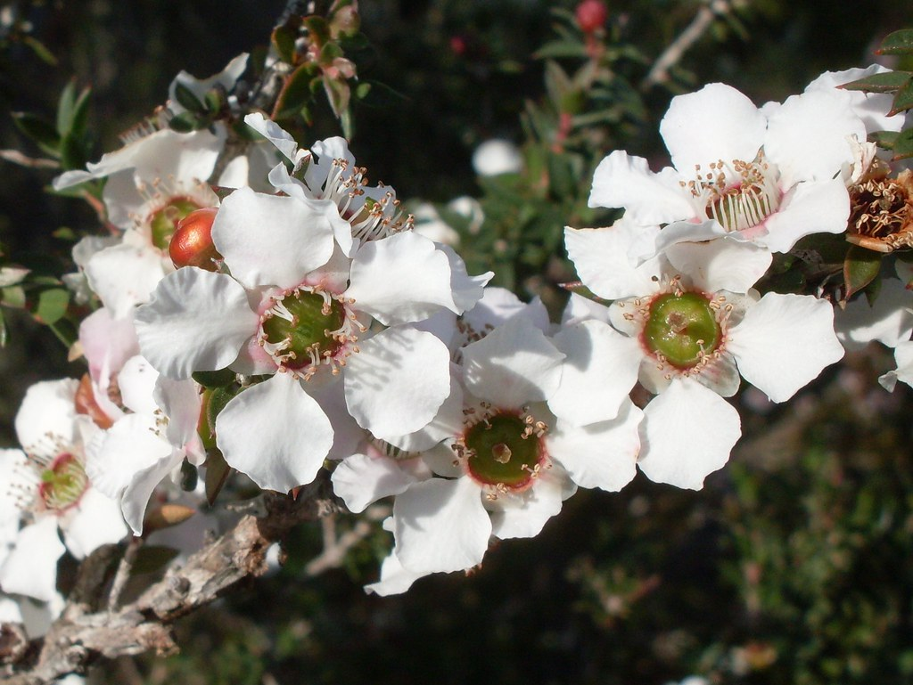 The Worlds Best Photos Of Leptospermum And Pink Flickr Hive Mind